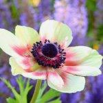 anemona multicolor