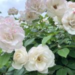 White Roses Varieties Meaning And Pictures Florgeous