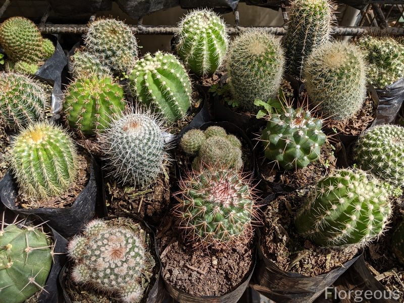 Top 10 Beautiful Types Of Cacti With Names And Pictures Florgeous