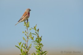 Linotte mélodieuse / Common Linnet / Linaria cannabina