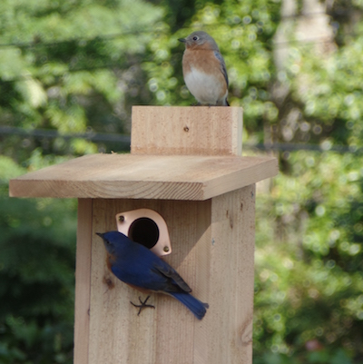 society plans be or american bluebird products usa chickadee gilbertson it bird bluebirds also house feeder pvc cedar in approved made as love north wren used can birdhouse swallow feeders