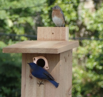 One Nestbox Bluebirds Like