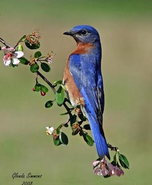"""All About Bluebirds"" M..."