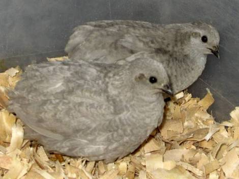 Button Quail Pair: slate --a combination of silver and blueface