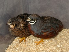 Button Quail Pair #2: red breasted female with golden pearl normal male. Origin: Tennessee/California.