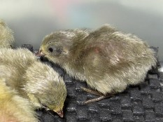 double factor slate button quail chick: silver with double dose of blue face