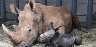 White rhino born at Disney World