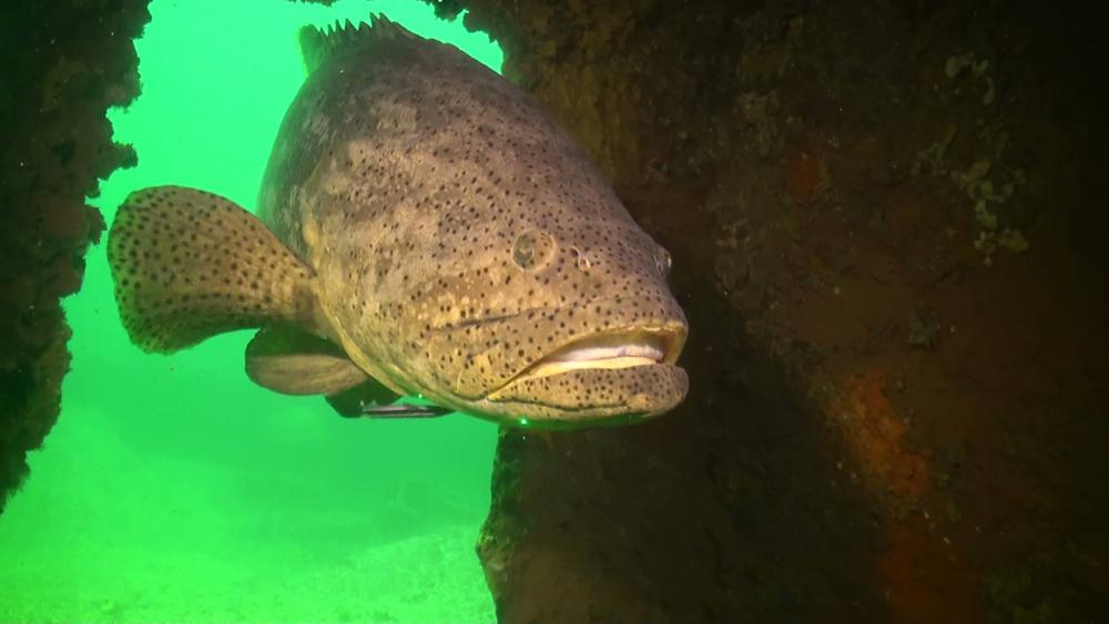 Florida could lift 30-year ban on catching goliath grouper