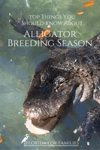 Essentials to know about Alligator Mating Season in Florida