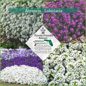 Alyssum - Lobularia white and purple plants in bloom