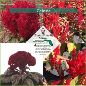 Celosia plants in bloom