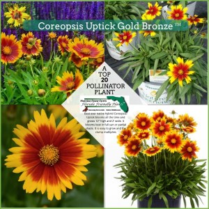Coreopsis Uptick Gold Bronze plant in bloom