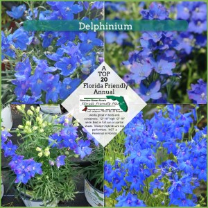 Delphinium plants in bloom