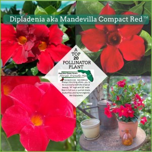 Dipladenia aka Mandevilla Compact Red plant in bloom