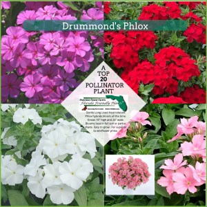 Drummonds Phlox plants in bloom