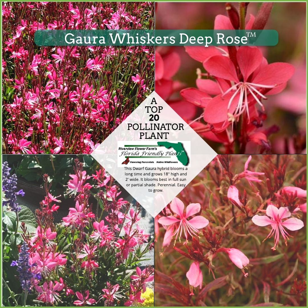Gaura Whiskers Deep Rose Florida Friendly Plants
