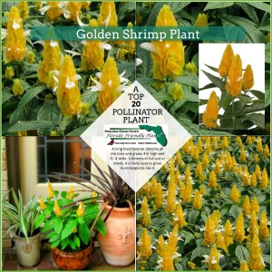 Golden Shrimp Plant plants in bloom