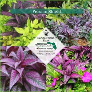 Persian Shield plants in bloom