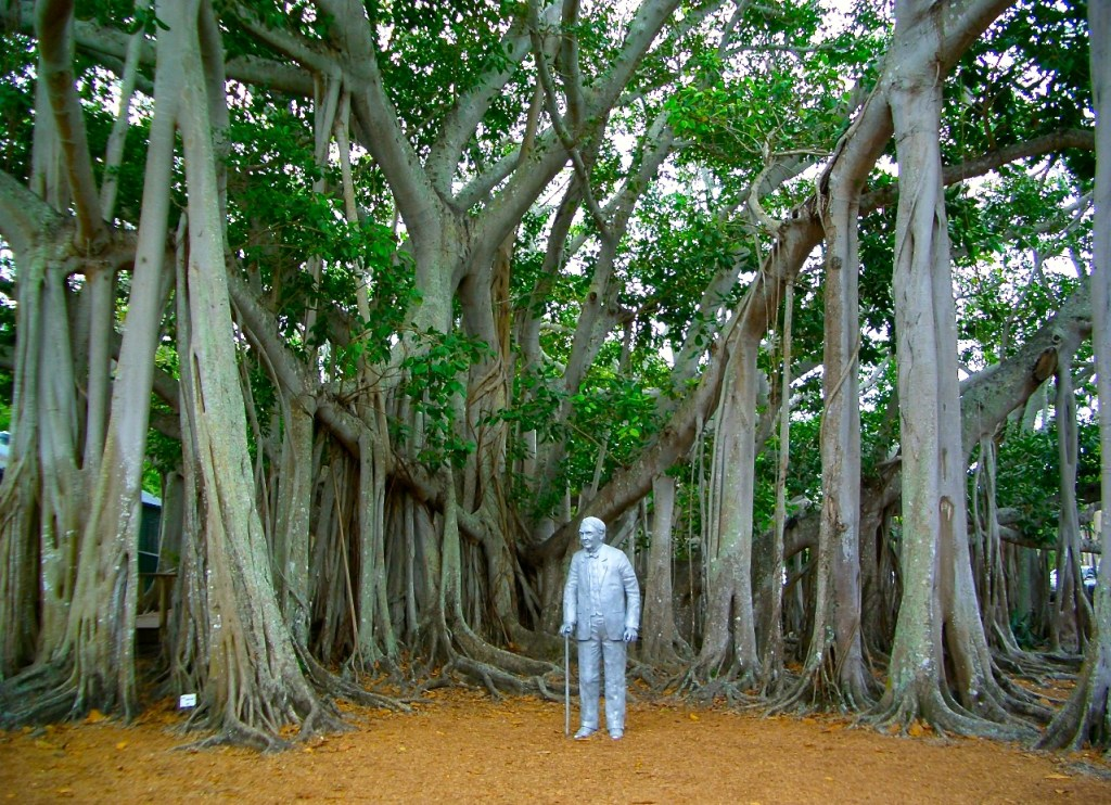 Largest Banyan Tree in the Continental U. S. at Edison & Ford Winter Estate