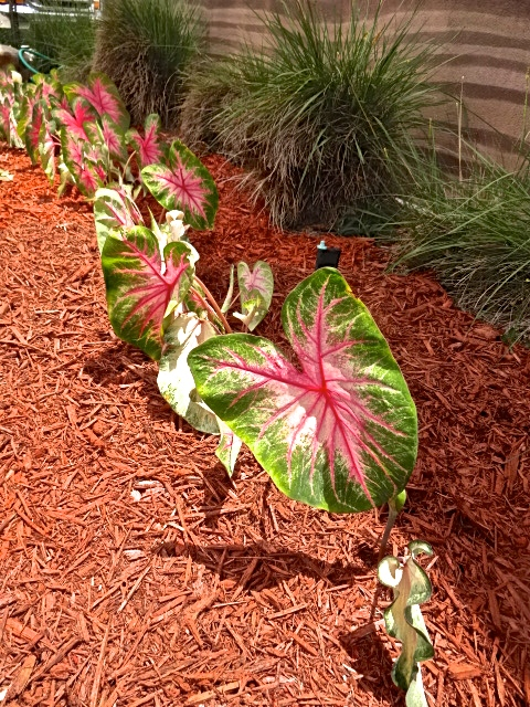 Colorful Lake Placid Caladiums