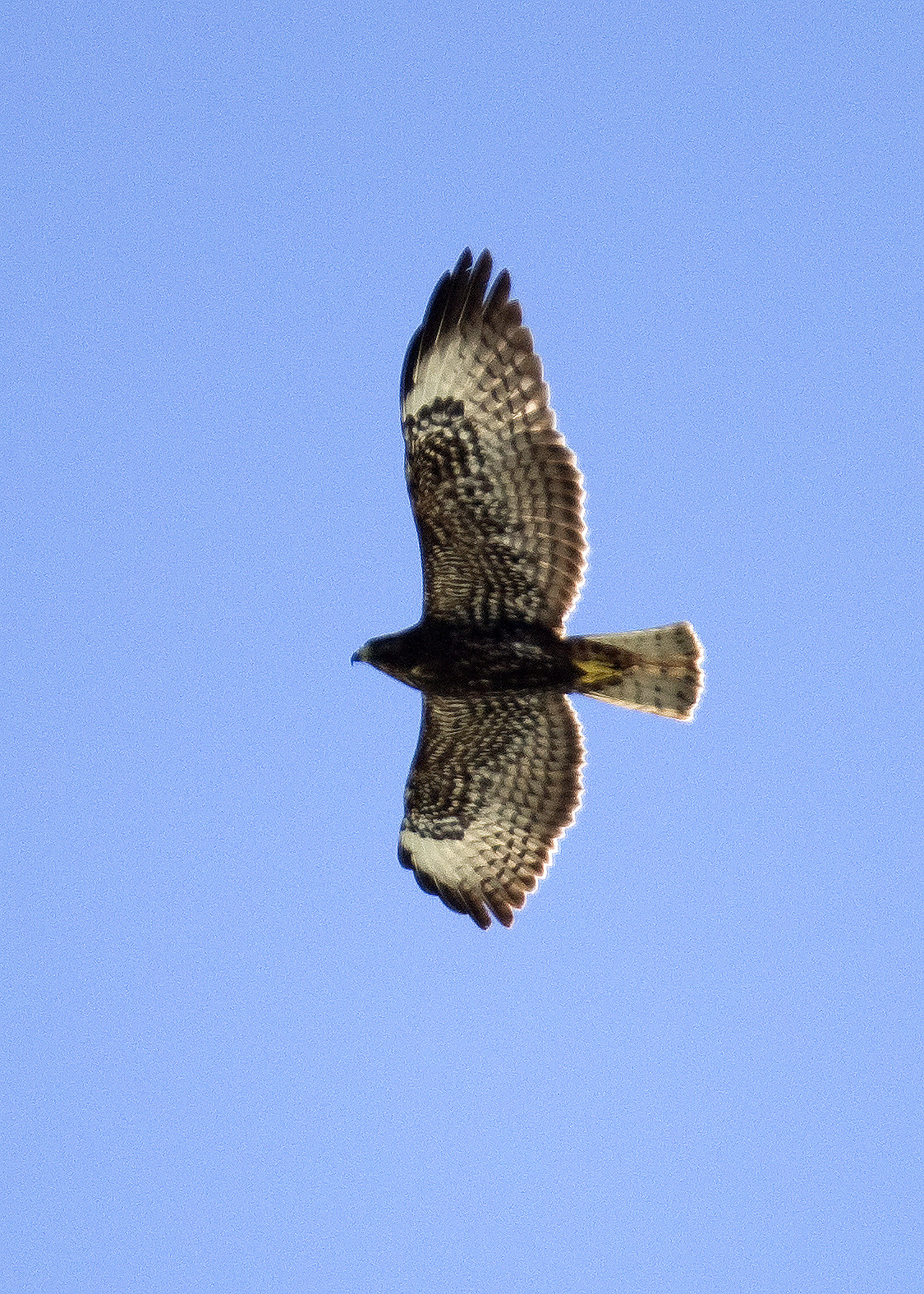 October Diversity And Certainly Peregrines