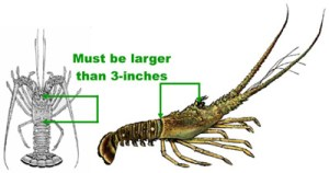How to Measure Lobster