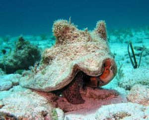 Live Queen Conch