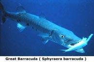 Barracuda Winter Fishing