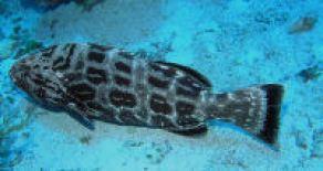 Florida Keys Fishing Black Grouper