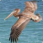 Brown Pelican Young Soaring