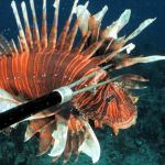 Speared Lionfish Florida Keys Culinary Delights