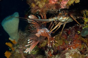 Lobster Eating Lionfish