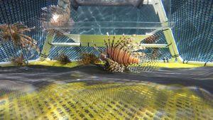 Lionfish Trap