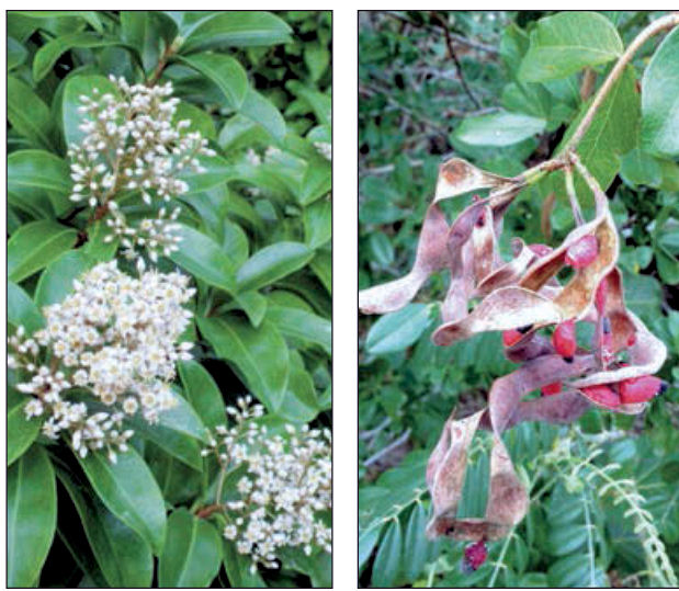 Native plants a better florida keys alternative left white marlberry flowers attract local bees and butterflies right blackbead trees display curlicued seed pods that decorate the tree like ornaments mightylinksfo