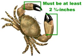 Stone Crab Claw Size