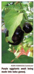 Florida Keys Home Garden Eggplant