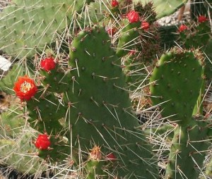 Florida Keys Cacti - semaphore cactus