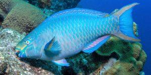 Algae Grazers Parrotfish