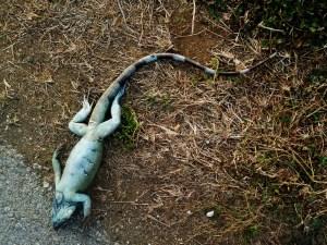 Dead Iguana