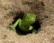 Iguana nest