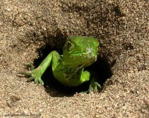 Iguana nest Invasive Species