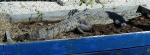 American Crocodile Nesting in Planter Box