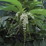 Fiddlewood Native Plant
