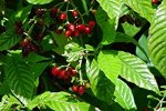 Wild Coffee Native Plant