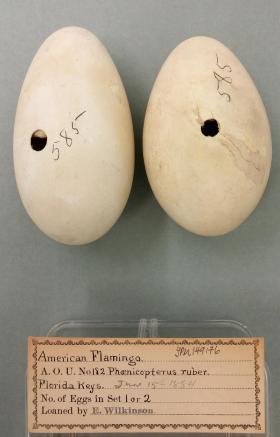 Florida Flamingo Eggs