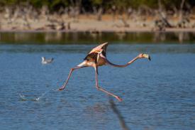 Florida Flamingos
