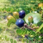 Cocoplum fruit