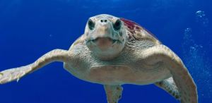Sea Turtle Top Dives