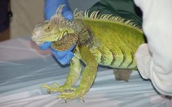 invasive species iguana