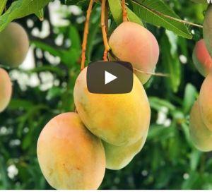 Grimal Grove Mangos